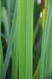 芦苇绿叶子