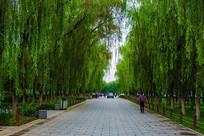 沈阳东陵公园人行路与两排柳树