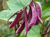 紫红色的眉豆