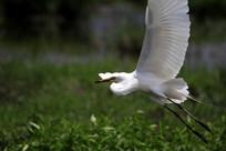 大鹏振翅的鹭鸶