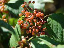 荚蒾红色果实