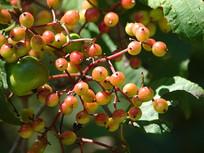 荚蒾结满红色果实