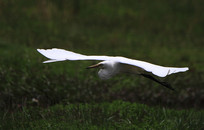 海燕翱翔的鹭鸶