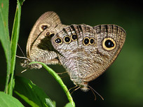 两只正在交尾的蝴蝶