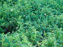 药用植物重庆巫山特产庙党