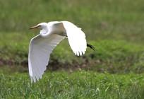 羽毛油亮的鹭鸶