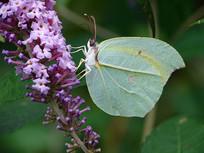 紫色醉鱼草上的圆翅钩粉蝶