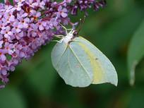 醉鱼草上的一只圆翅钩粉蝶