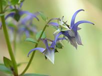 龙胆科植物椭圆叶花锚