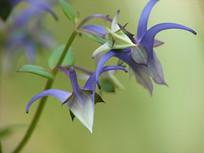 美丽的椭圆叶花锚花朵