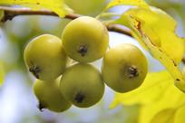 黄色小果子