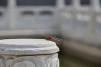 落在石柱上的红色小蜻蜓