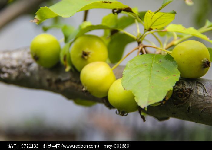 枝头青果图片