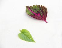 紫色绿叶片