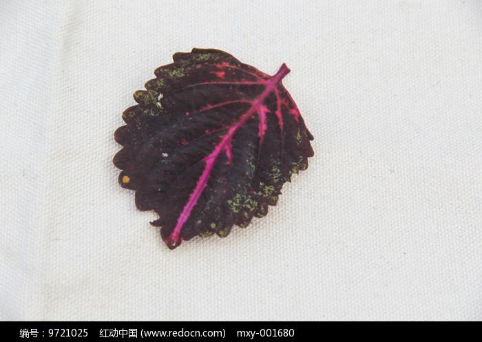 紫色叶片图片