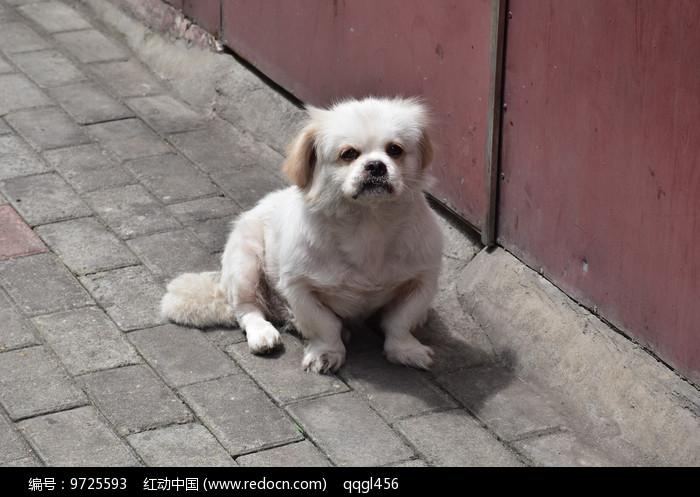 白色的狗图片