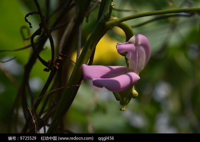 粉色刀豆花图片