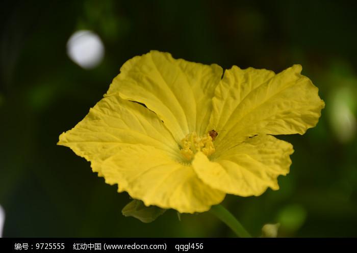 丝瓜花图片