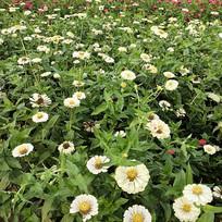 白色的花丛
