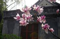 北京大学玉兰花