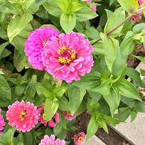 粉色的花丛