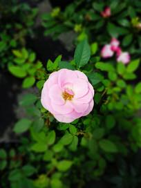 玫瑰花摄影