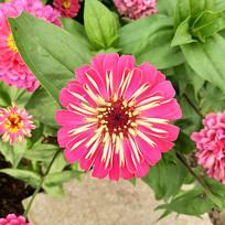 一朵粉红色的花
