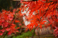 岳麓山秋天红色枫叶