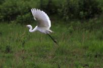 展翅欲飞的鹭鸶
