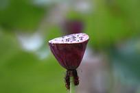 散尽花瓣的莲蓬