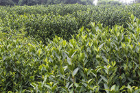 绿色茶文化