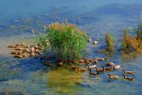 溪水中在水草边游动的麻鸭群鸭