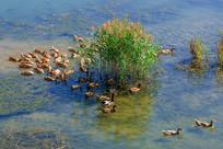 溪水中在水草处游动的麻鸭群