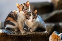 两只小花猫瞪着大眼睛