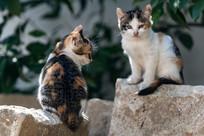 两只小花猫相对坐着