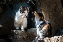 两只小花猫相视对着
