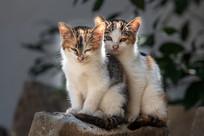 两只小花猫在打盹