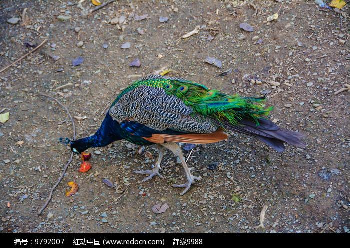 一只觅食的花孔雀图片