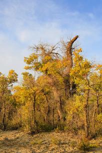 晨光中的额济纳胡杨树树