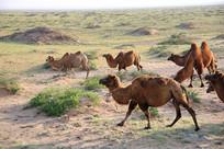 戈壁上的的骆驼群