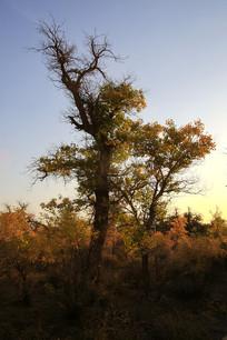 晨光中的胡杨树