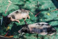 两头黑头黑腚白身宠物猪