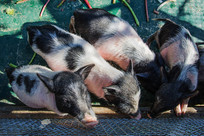 四头黑头黑腚白身宠物猪