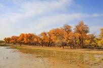 额济纳河边的胡杨树林