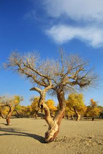 胡杨树枯枝不朽千年