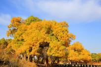 金色的额济纳胡杨林一道桥