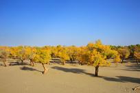 沙漠上的胡杨树林