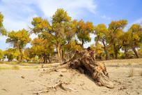 不朽的胡杨树干与秋林