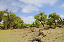 不朽的胡杨树林