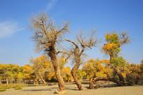额济纳胡杨林的枯树